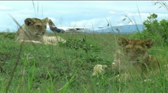 Lion cubs by airstrip - stock footage