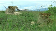 Stock Video Footage of Lion cubs by airstrip