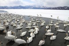 Swan lake in Hokkaido, Japan - stock photo