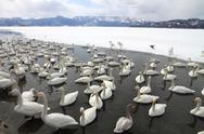 Stock Photo of Swan lake in Hokkaido, Japan