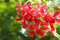 Quisqualis indica flower in Asia - stock photo