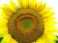 Big yellow sunflower Stock Photos