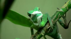 Green crested lizard Stock Footage