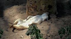 Meerkat (Suricate) Stock Footage
