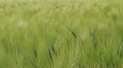Green wheat swaying in the breeze Stock Footage