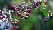 Stock Video Footage of Hawthorn - Crataegus monogyna - berries