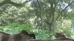 Tyrannosaurus eating a parasaurolophus Stock Footage