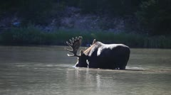 Bull Moose Feeding In Water MS Stock Footage
