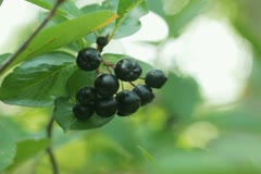 Black Chokeberries (Aronia) on bush in garden NTSC Stock Footage