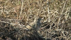 Crested lark looking for food on the ground Stock Footage