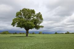 agricultural landscape with oak tree - stock photo