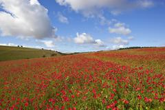 Scarlet poppies Stock Photos