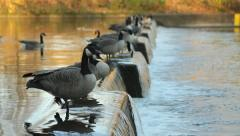 Flock of Canadian geese Stock Footage