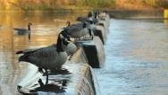 Stock Video Footage of Flock of Canadian geese