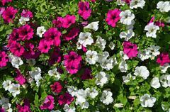 petunias flowerbed - stock photo