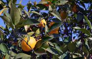 Lemons on tree Stock Photos