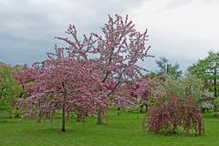 Blooming orchard before storm - stock photo