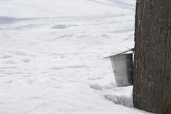 Stock Photo of Pail for collecting maple sap attached to a tree