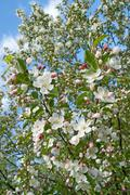 Cherry tree in bloom - stock photo