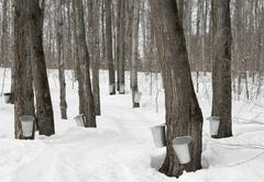 Traditional maple syrup production - stock photo