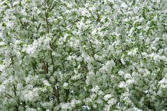 White blossom background Stock Photos