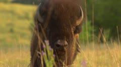 Buffalo Grazing - Slow Motion Stock Footage