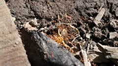 Red ants army - stock footage
