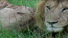Male Lion's head Stock Footage