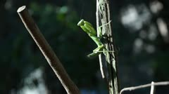 Praying Mantis Stock Footage