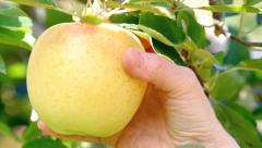 Hand picking apples from an apple tree. Stock Footage