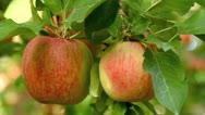 Stock Video Footage of Apple trees with red apples.