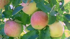Farmer gathers harvest apples. - stock footage