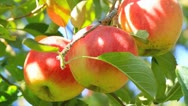 Stock Video Footage of Red delicious apples with blue sky in the background.