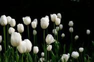 White tulips in a garde Stock Photos