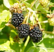 ripe blackberry on a branch in a garden - stock photo