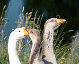 Close-up of gray and white geese Stock Photos