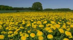 Summer Flowers (Common Dandelion - Taraxacum Officinale) - Northern Germany Stock Footage