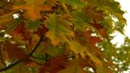 Yellow oak leaves Stock Footage