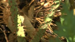 Thorney stem - close up 002 Stock Footage