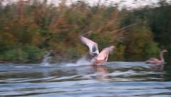 Immature Mute Swans taking off from water, Cygnus olor - stock footage