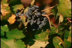 Napa, 1970's, Napa Valley, close up of purple grapes Stock Footage