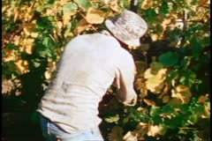 Napa, 1970's, Napa Valley, pickers harvesting grapes, close up Stock Footage