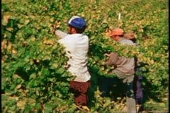 Napa, 1970's, Napa Valley, pickers harvesting grapes, medium shot Stock Footage