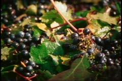 Napa, 1970's, Napa Valley, close up of red grapes - stock footage