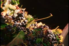 Napa, 1970's, Napa Valley, red grapes dropping into bin with auger - stock footage