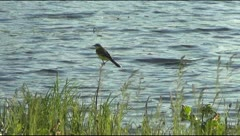 Siskin on the background of the river Stock Footage
