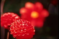 San Francisco, 1970's, Close up, follow focus red mum, to red open bloom Stock Footage