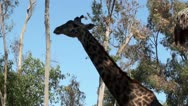Stock Video Footage of giraffe