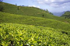 sri lanka tea garden mountains - stock photo