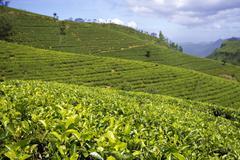 Sri lanka tea garden mountains Stock Photos